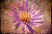 Asters Metal Prints - Textured Aster Metal Print by Lois Bryan