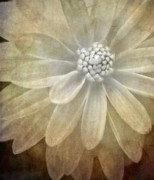 White Flower Prints - Textured Dahlia Print by Meirion Matthias