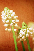 Martina Framed Prints - Textured Muscari Framed Print by Martina Fagan