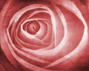 Textured Rose Macro Print by Meirion Matthias