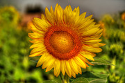 Round Digital Art Prints - Thai Sunflower Print by Adrian Evans