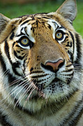 The Tiger Metal Prints - Thai Tiger Metal Print by Photo by Sayid Budhi