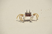 Walking On Sand Prints - Thailand Crab Print by Michael McCann Photography