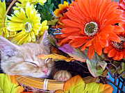 Kitteh Prints - Thanksgiving Kitten Asleep in a Gerbera Daisy Basket - Kitty Cat in Fall Autumn Season Colours  Print by Chantal PhotoPix