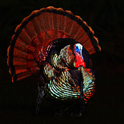 Traditional Pop Framed Prints - Thanksgiving Turkey - Painterly - Square Framed Print by Wingsdomain Art and Photography