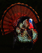 Turkey Digital Art Metal Prints - Thanksgiving Turkey - Painterly Metal Print by Wingsdomain Art and Photography
