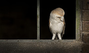 Barn Owl Prints - That Corner is Filthy Print by Andy Astbury