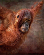 Orangutan Digital Art Metal Prints - That Look Metal Print by Heather Thorning