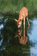 White-tail Deer Prints - That Must Be Me Print by Sandra Bronstein
