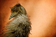 Emu Acrylic Prints - That Shy Come-Hither Stare Acrylic Print by Lois Bryan