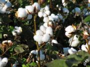 Boll Photos - Thats A Cotton Boll by Debra     Vatalaro