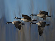 Canadian Geese Art - The 4 Geese by Ernie Echols