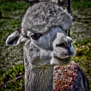 Llama Photos - The Alpaca by David Patterson