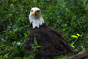 Flag Of Usa Prints - The American Bald Eagle IV Print by Lee Dos Santos