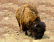 The American Buffalo Framed Prints - The American Buffalo Framed Print by Bill Cannon