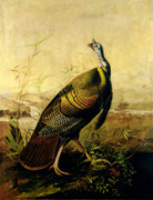 Fowl Paintings - The American Wild Turkey Cock by John James Audubon