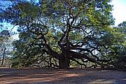 1400 Framed Prints - The Angel Oak in Spring Framed Print by Susanne Van Hulst