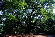 Angel Oak Photos - The Angel Oak in Summer by Susanne Van Hulst