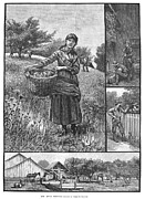 Cider Mill Framed Prints - The Apple Harvest, 1882 Framed Print by Granger