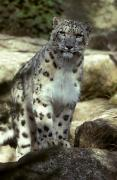 Snow Leopard Posters - The Appraising Stare Of A Majestic Snow Poster by Jason Edwards