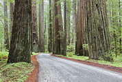 Avenue Of The Giants Prints - The Avenue Of The Giants A Winding Print by Douglas Orton