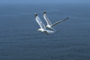 Flying Seagull Art - The Aviators by Michael Mogensen
