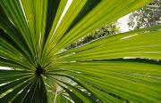 Fan Palm Framed Prints - The Backlit Veins Of The Fan Palm Framed Print by Jason Edwards