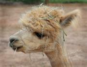 Llamas Prints - The Bad Hair Day Print by Terry Kirkland Cook