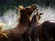 Wild Horses Prints - The Battle Print by Bill Stephens