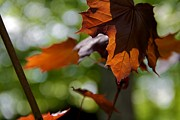 Red Leaves Photos - The Beauty Of Chaos by Odd Jeppesen