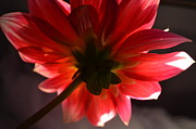 Paige Hval Art - The Beauty of Dahlias by Paige Hval