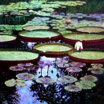 Water Lilies Posters - The Beauty of Stillness Poster by John Lautermilch