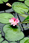 Pink Water Lily Framed Prints - The beauty of Water Lily Framed Print by Jasna Buncic