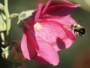 Bee Posters - The Bee and the Hollyhock Poster by Marjorie Imbeau