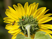 Ladybugs Photos - The Bee Lady Bug and Sunflower by James Bo Insogna