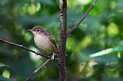 Song Bird Photos - The Best Singer of the Woods and Fields by Jenny Rainbow
