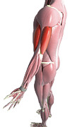 Human Body Photos - The Biceps And The Triceps Brachii by MedicalRF.com