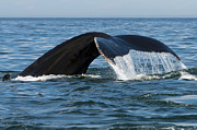 Humpback Whale Metal Prints - The Big Blue in the Bigger Blues... Metal Print by Nina Stavlund