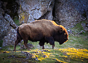 Bugel Prints - The Bison Print by Steve McKinzie