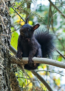 Squirrel Photos - The Black Aberts Squirrel by Bronze Riser