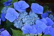 Garden Flowers Photo Originals - The Blue Bunch. by Terence Davis