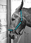 Mule Photos - The Blue Mule by Edward Myers