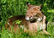 Lynx Rufus Art - The Bobcats Afternoon Nap by Laurel Talabere