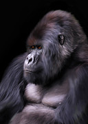 Gorilla Digital Art Framed Prints - The Boss Framed Print by Julie L Hoddinott