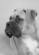 White Dog Posters - The Boxer Dog - the Gentleman amongst dogs Poster by Christine Till