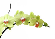 Moth Orchid Photos - The Branch Of A Flowering Orchid by Nicholas Eveleigh