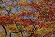 Red Maple Tree Photos - The Branches Of Red Maple Tree Weave by Raymond Gehman