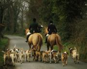Foxhound Photos - The Bray Harriers, Co Wicklow, Ireland by The Irish Image Collection