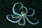 Octopuses Photos - The Brown Mimic Octopus, Octopus by David Doubilet
