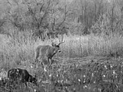 Whitetails Framed Prints - The Buck BW Framed Print by Ernie Echols